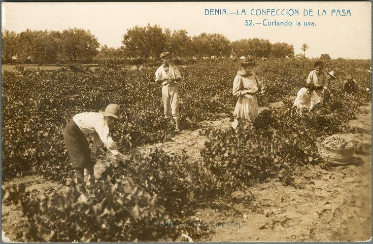 La Confección de la pasa : cortando la uva, Denia.