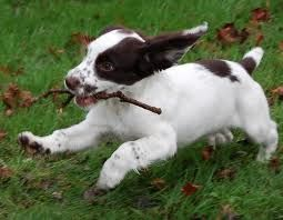 English Springer Spaniel Puppy ♥ liver and White