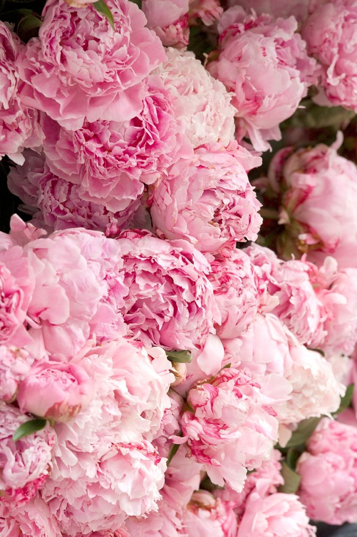 53 best peonies images on pinterest flowers pink peonies and jo malone london peony blush suede peonyblushsuede peony pink dhlflorist Images