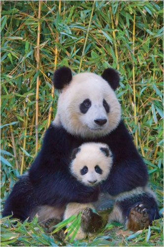 This beautiful, full color, 24 x 36 inch poster captures a Mother Panda Bear embracing her adorable Cub surrounded by their natural habitat  favorite meal: bamboo! Suitable for framing, this glossy a