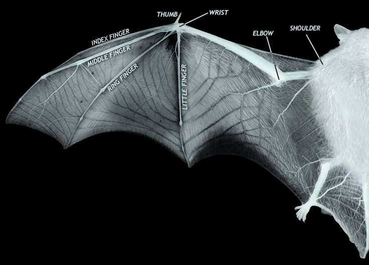 diagram showing the structure of bat wing a thin membrane