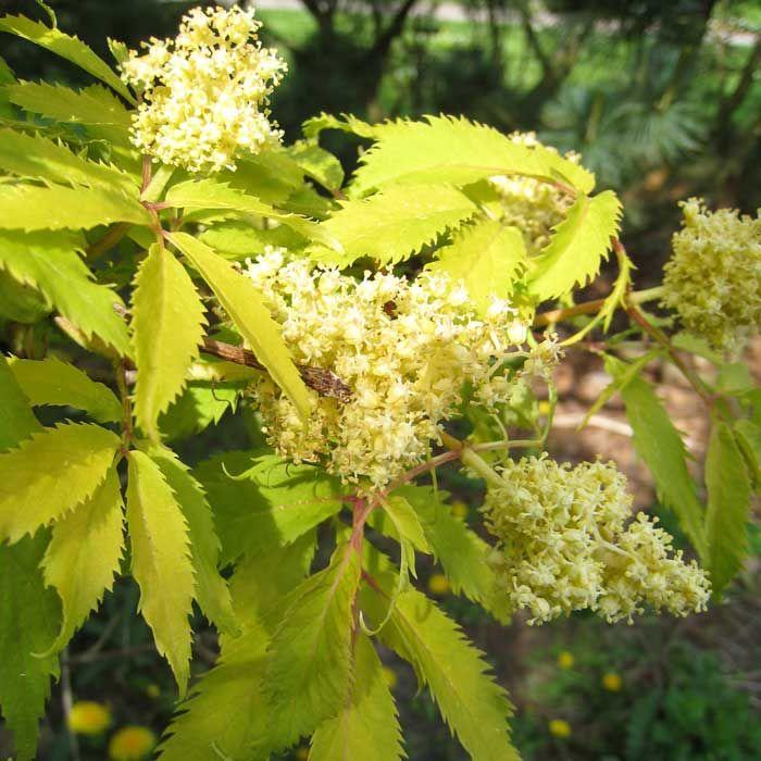 "Blommor på ""falsk fläder"", druvfläder (Sambucus racemosa)"