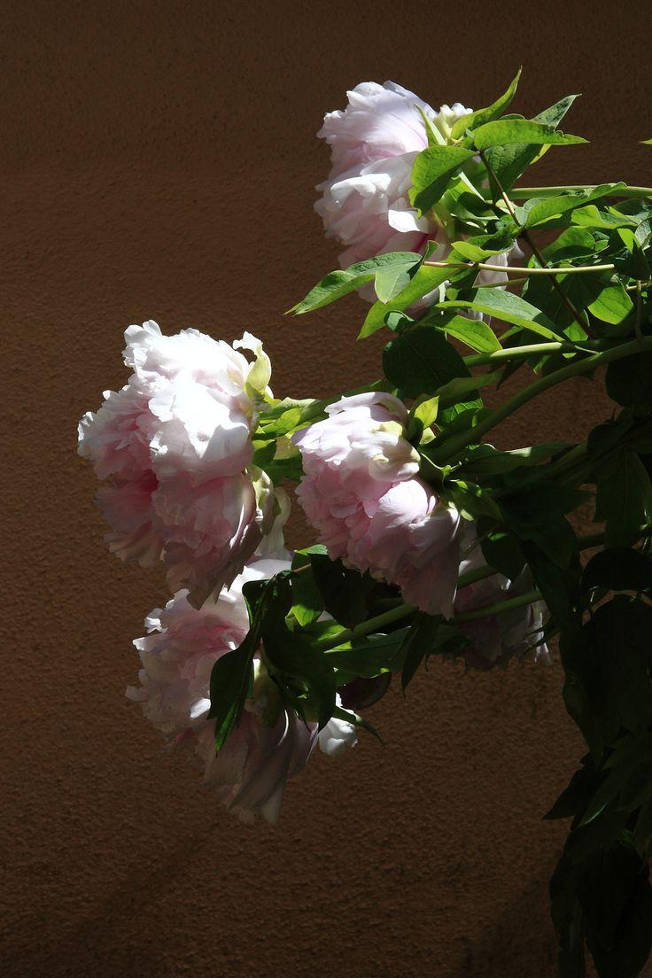 La PEONIA è tra i fiori più venerati in Oriente da migliaia di anni. Portatore di fortuna e di un matrimonio felice. Racconto fotografico di un fiore che ha vita breve ma intensa, è un'esplosione di petali