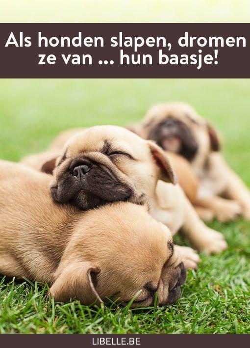Slapende honden dromen niet over de kat die ze achternazitten, hun dromen zijn nog net dat tikkeltje schattiger... Ze dromen over hun baasje!
