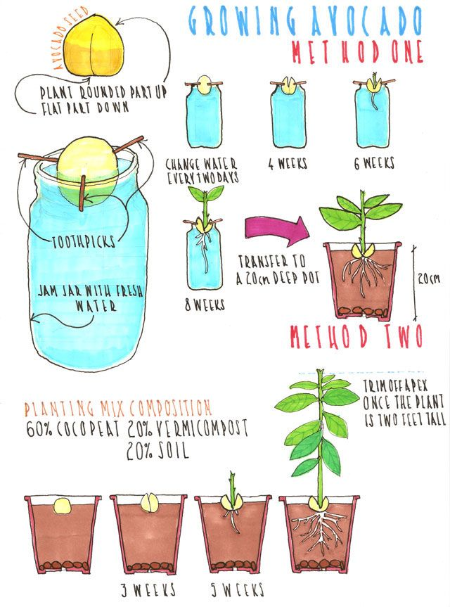 How to grow avocado, a step by step illustrated guide.