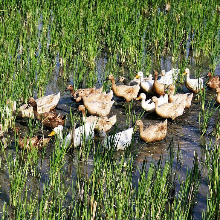 Bali ducks, marching away 🦆.