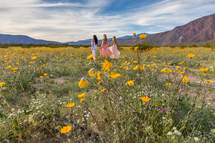Wildflowers in California: The Super Bloom at Anza Borrego State Park. A perfect destination for a California Getaway.