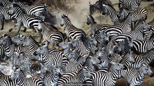 A herd of zebras crossing a river (Credit: Steve Bloom Images/Alamy)