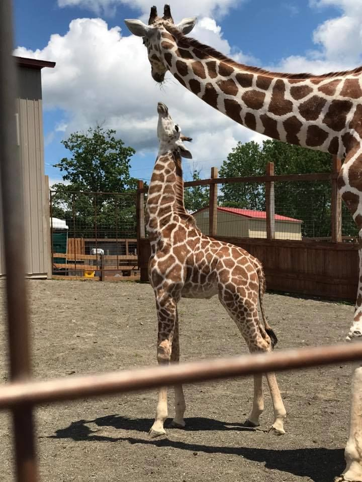 33+ Best Pics On April, Tajiri, Oliver the Giraffe and Allysa, Jordan - april the giraffe eating carrots today and live cam june 27th from animal