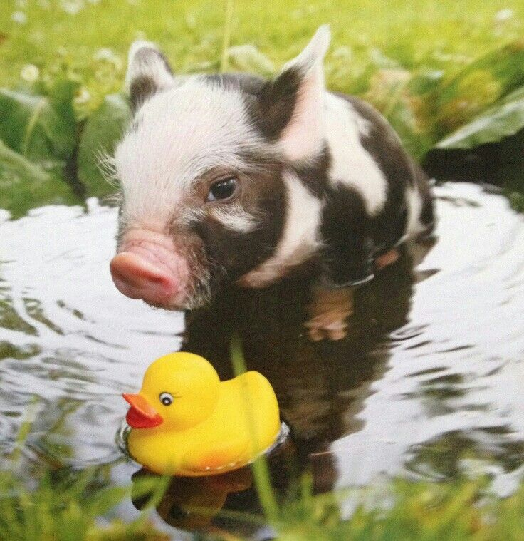 Cute Little Piglet taking a 'Muddy' Bath with his Rubber Duck Toy