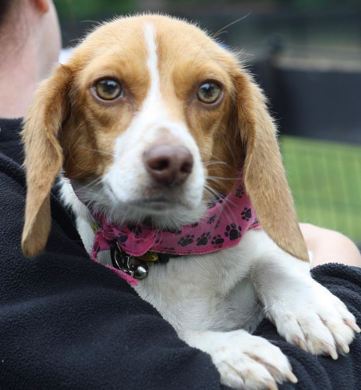 Meet Daley, an adoptable Beagle looking for a forever home. If you're looking for a new pet to adopt or want information on how to get involved with adoptable pets, Petfinder.com is a great resource.