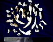 Lot of Possum Skull Fragments