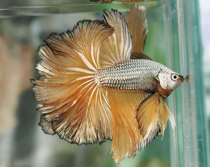 Full Mask Yellow Dragon Betta  These are freshwater, can be slightly brackish. Bettas were the first fish I started raising. Love them! :D ~ Carol E. Keen