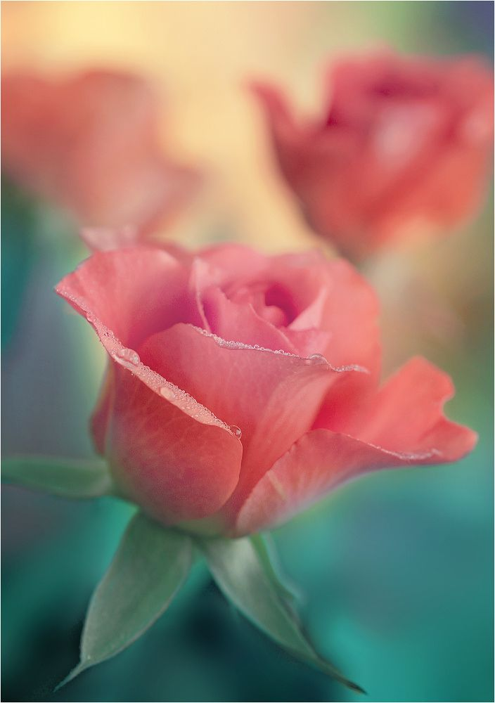Best 25+ Pink roses ideas on Pinterest   Beautiful pink ...