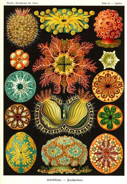 Ernst Haeckel. His art is pretty even if his ideas on race and evolution were screwy.
