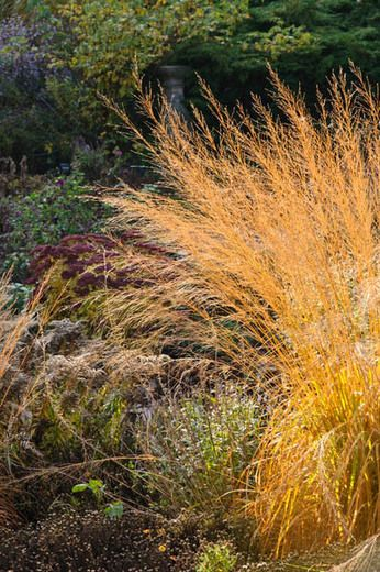 Molinia Caerulea subsp. arundinacea 'Transparent', Molinia 'Transparent', Molinia Caerulea 'Transparent', Purple Moor Grass 'Transparent', Ornamental grass, Ornamental grasses