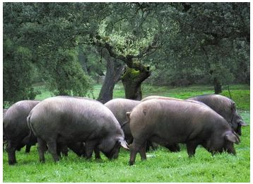 The Black Iberian Pig, whose unique origin can be traced back to ancient times, is found in herds clustered in the central and southern territory of the Iberian Peninsula, in Portugal and Spain. They were probably brought to the Iberian Peninsula by the Phoenicians from the Eastern Mediterranean coast (current day Lebanon) where they interbred with wild boars dating back to 1000 B.C.