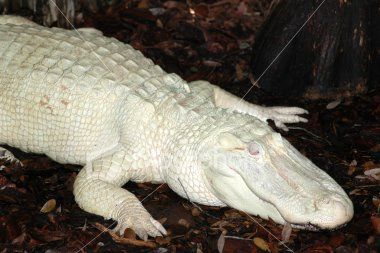 albino alligator how cool!