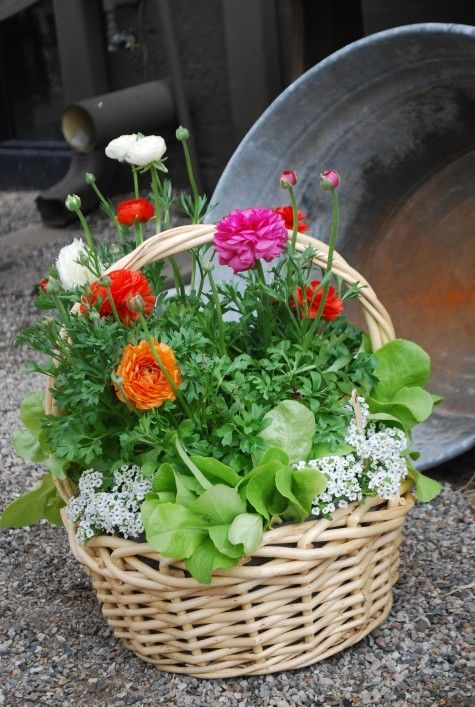 Ranunculus (a favourite) with alyssum and lettuce in a pretty, pale basket.