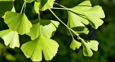 Hier handelt es sich um Heilpflanzen und ihre Wirkung. In unserem…