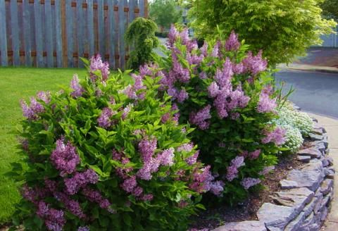Lilac, Dwarf Korean	Zone 3  Syringa meyeri 'Palibin'  Compact shrub with small round leaves. Fragrant, purple-violet flowers in late May and early June.  Light Requirements: Sun  H 4-6'       W 5-7'	Foliage: Dark green  Shape: Compact, rounded	Fall Color: Insignificant  Flower: Purple-violet