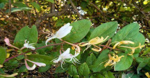 Αγιόκλημα: Ένα θαυματουργό φαρμακευτικό φυτό που πρέπει να γνωρίζετε!: http://biologikaorganikaproionta.com/health/247564/