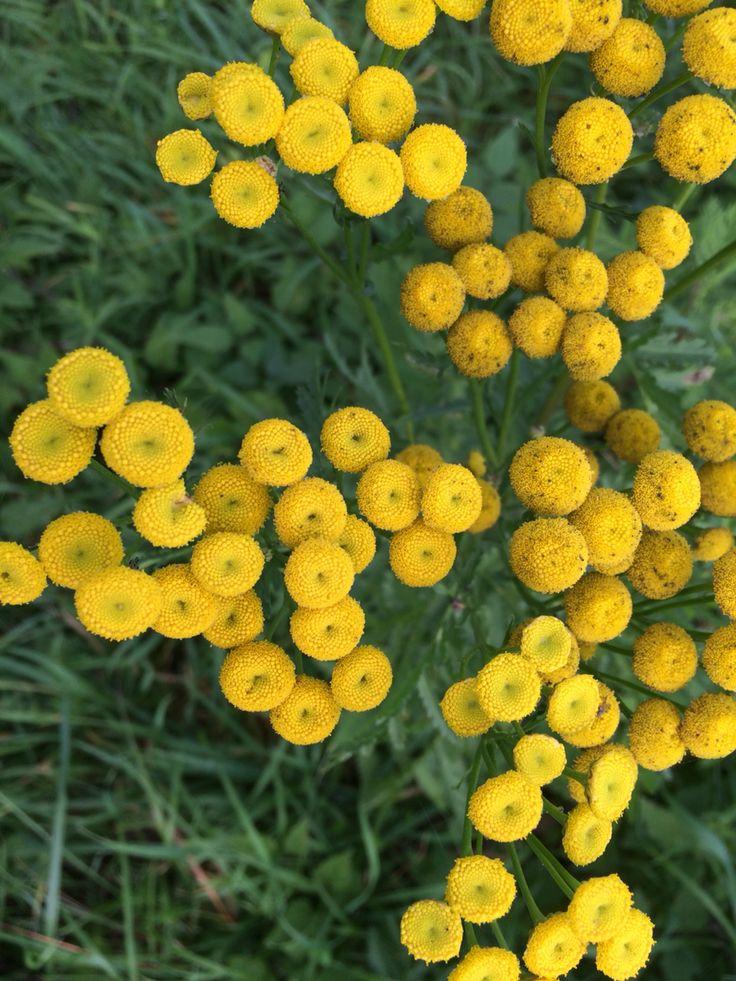 La tanaisie commune tanacetum vulgare plante toxique et for Plante jaune