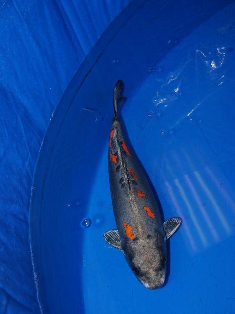 65 best koi images on pinterest koi ponds koi fish pond for Koi spawning pool