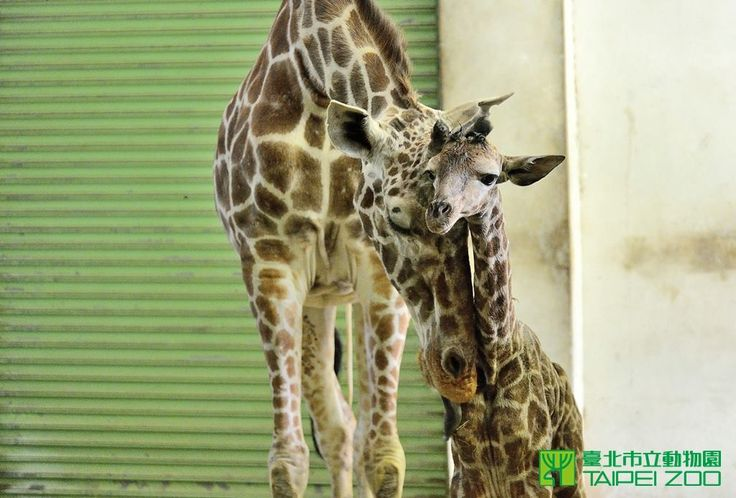 After a 15-month-long gestation period, a veteran Giraffe mom, at Taipei Zoo, gave birth to a healthy male calf on May 13th. He has been given the nickname 'Xiao Zhang'. Check out ZooBorns for more info, pics, and see video of the calf's birth! http://www.zooborns.com/zooborns/2015/05/taipei-zoo-welcomes-giraffe-calf.html