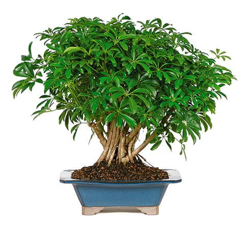 Have you been interested in bonsai trees but are not sure where to begin or what  sc 1 st  Pinterest & 77 best Indoor plants images on Pinterest   Gardening Indoor ... azcodes.com