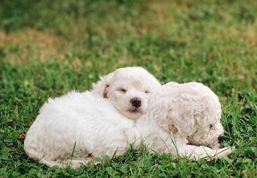 PUP 27 AB0001 01 © Kimball Stock Two Bichon Bolognese Puppies Sleeping On Grass
