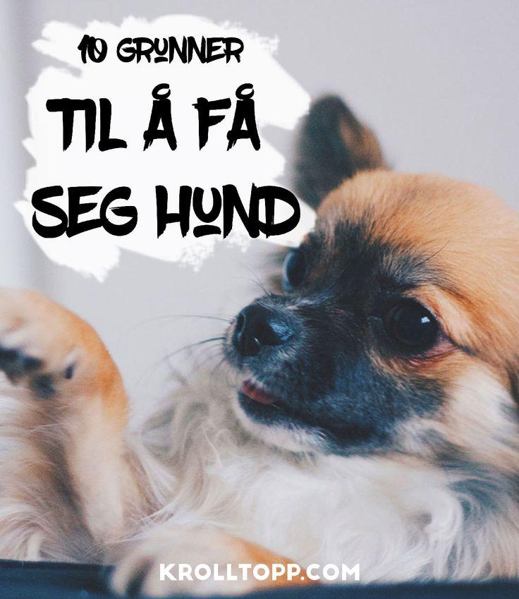 Reasons to get a dog - Chihuahua puppy - Dog stuff -  Livet som Krølltopp