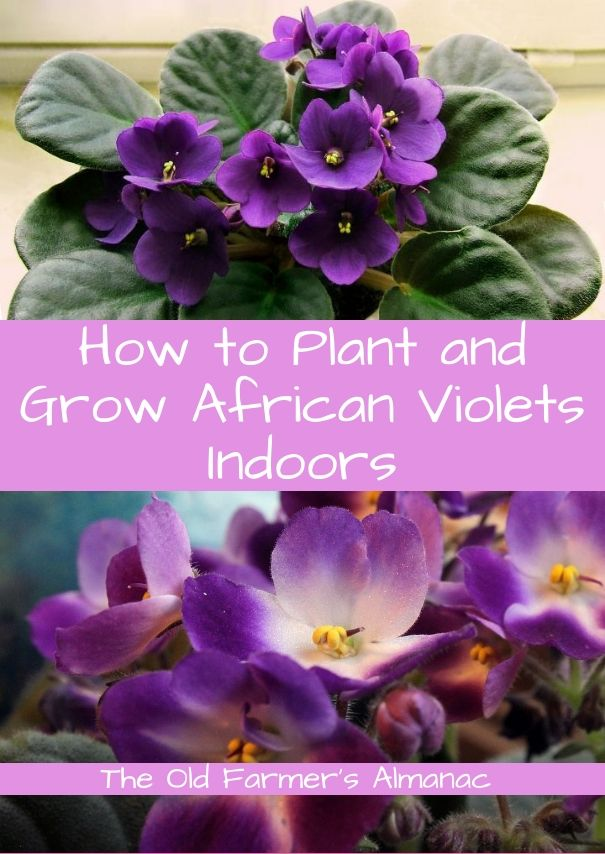 Learn how to plant and grow African Violets with The Old Farmer's Almanac!