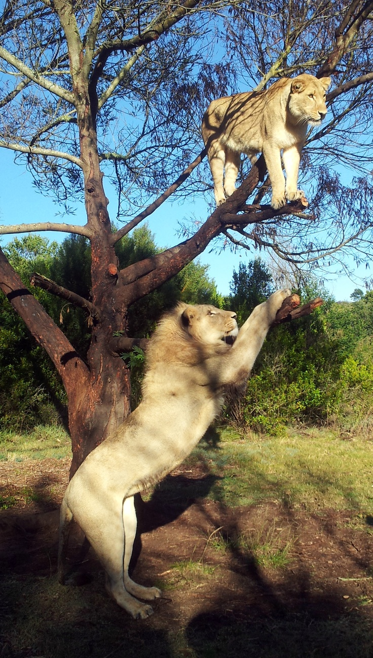 Lioness in a tree on my adventure to walk in the wild with lions at Botlierskop Private Reserve near Port Elizabeth
