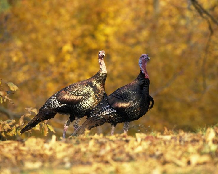 turkeys offensive agai germany - 736×588