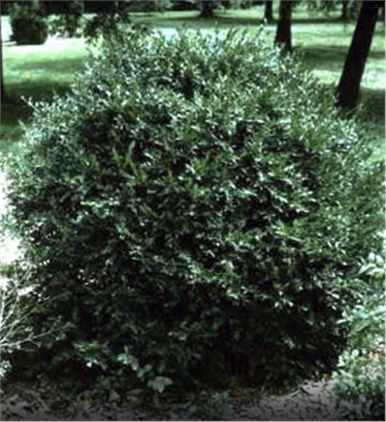 Korean Boxwood - Good for Zone 9. Good for lining driveway/front of house with other plants around if in front