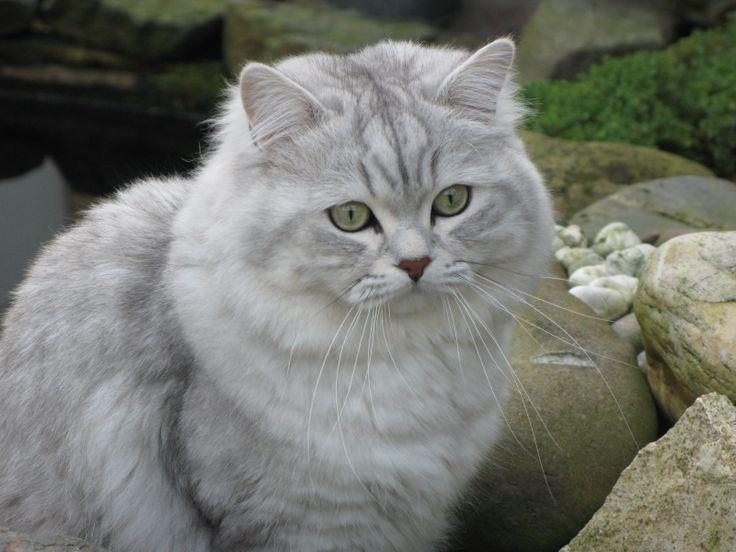 British Longhair Black Silver Shaded 29. Cat Breeds