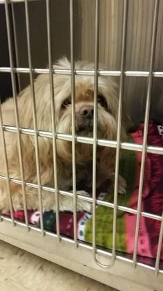 Petango.com – Meet Sammy, a 14 years Lhasa Apso / Mix available for adoption in VISALIA, CA