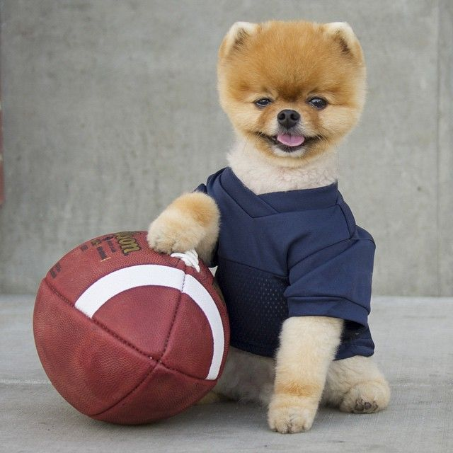 Best Jiff Pom Images On Pinterest Pomeranians Puppys And - Jiff the pomeranian is easily the best dressed model on instagram