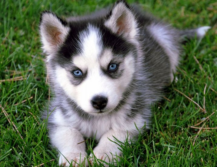 Best 25  Husky pups ideas on Pinterest