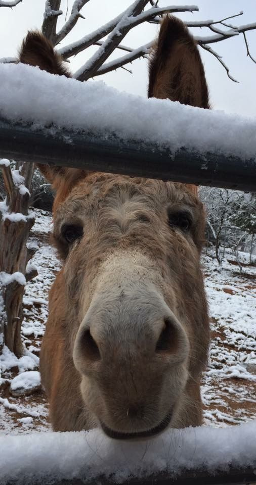 Cleo Burro ~ Only Donkeys, Snow in Sedona, AZ