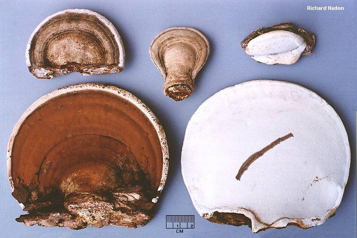 Ganoderma applanatum - white mottled rot on aspen.