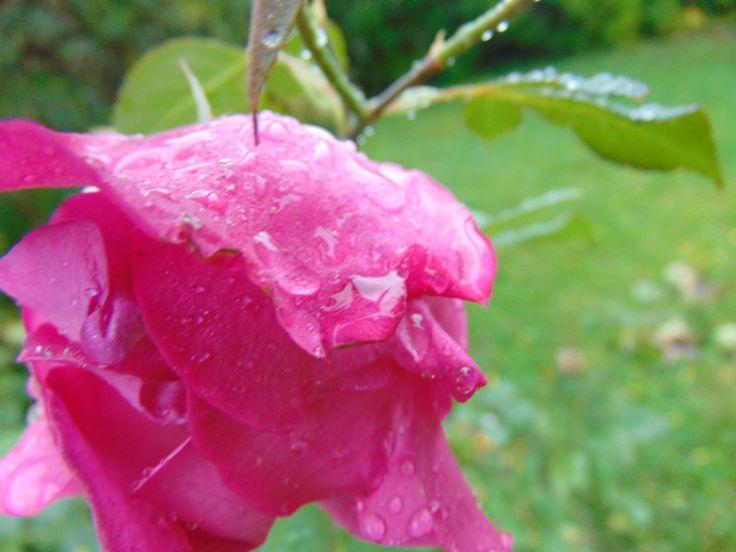 Rain on a Rose | By @shanarahsphotos