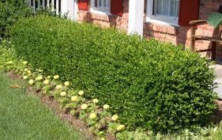 gooseberry as a hedge | Fedge - Food Hedge edible ...