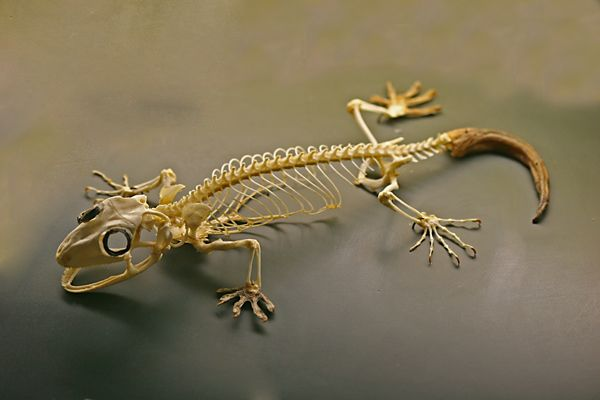 Anatomy of a gecko