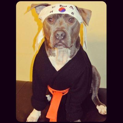Karate Kid American Bully 145 best Pitbul...