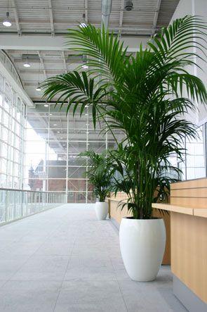kentia palm,  Hamburg Messe, Dekoration Messestand, decorations fair Hamburg