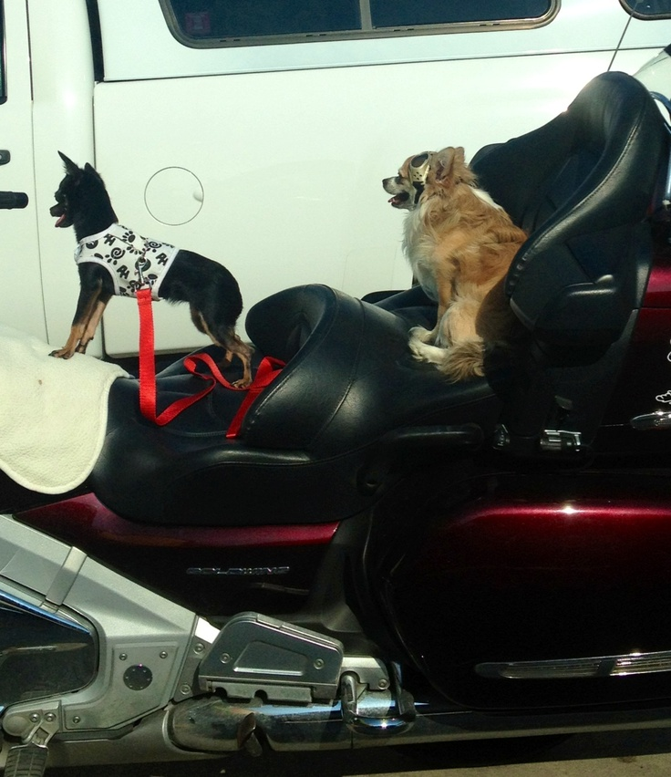 Dogs that Ride...motorcycles