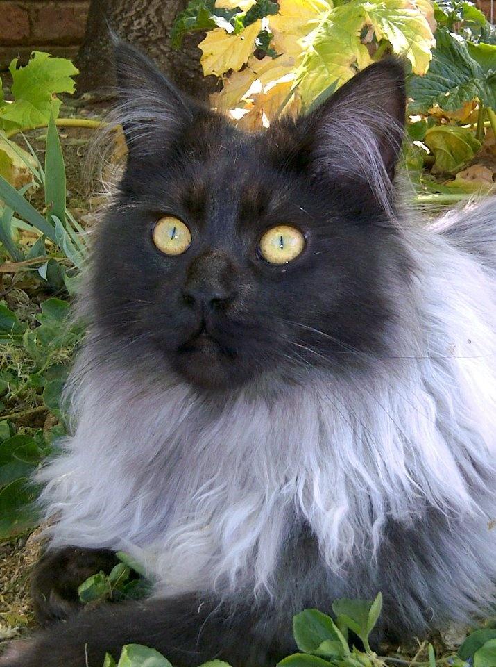 Smokey persian cat