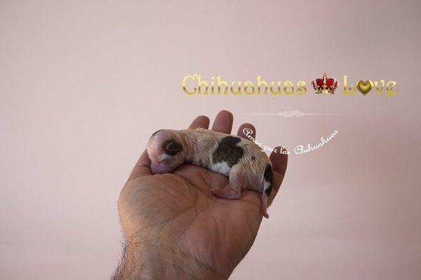 Chihuahuas Love - Chihuahua Toy, Enano, de Bolsillo, Tacita de Té, Micro, Mini Toy, Superminiatura…